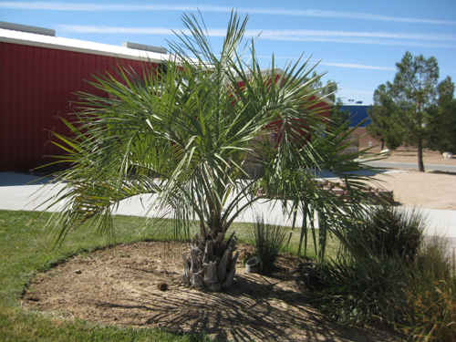 feathery palm tree