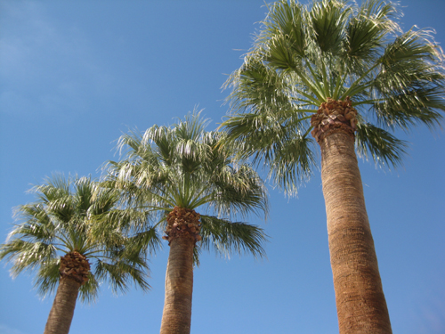 triplet palm trees