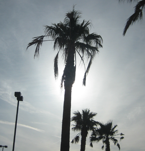 early morning palms