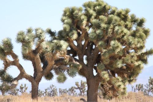 joshua tree1